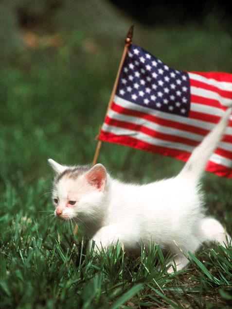 kitten-flag-477